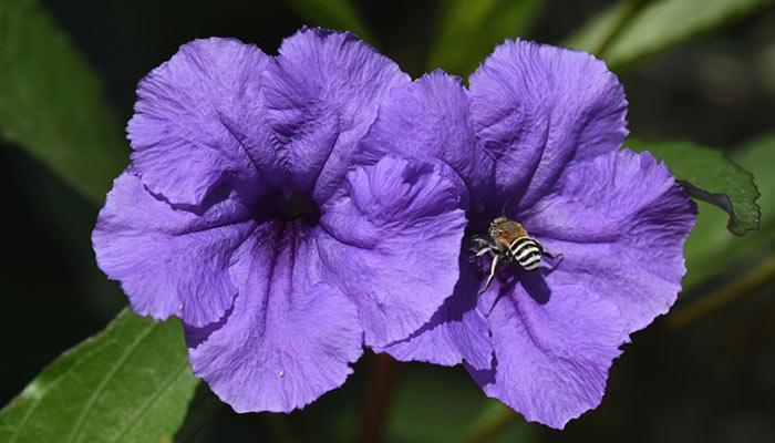 Petunia- Winter Season Flowers