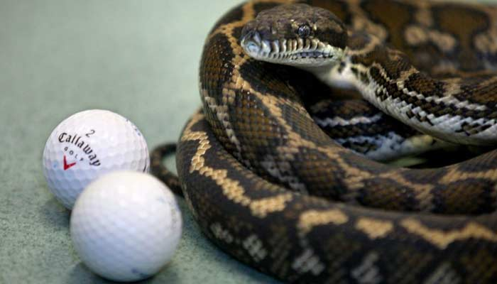 Pythons Eat Golf balls