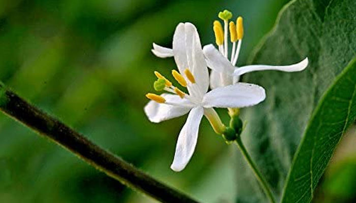 Winter Honeysuckle - Flowers In Winter At Your Home