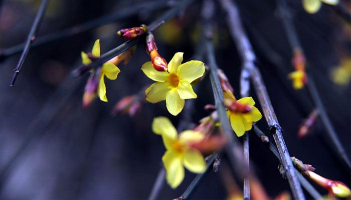 Winter Jasmine - Winter Season Flowers