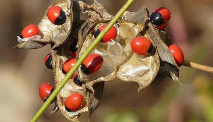 Uses Of Ratti Seeds