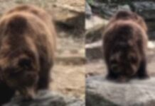 Two Bear Eating Honey Viral Video