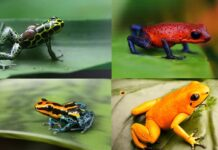 World Most Poisonous Dart Frog