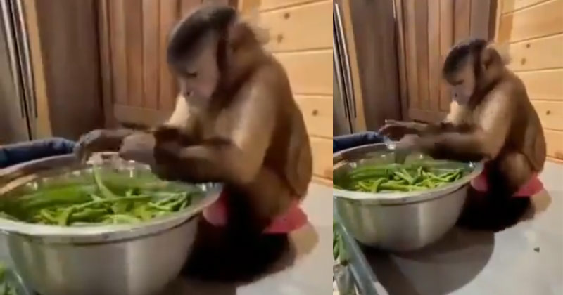 Monkey Cutting Vegetables With Woman