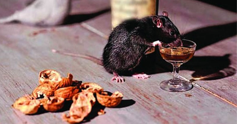 Rats Drink Alcohol