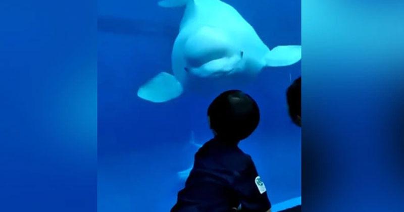Beluga Whale Welcomes Little Boy At Aquarium