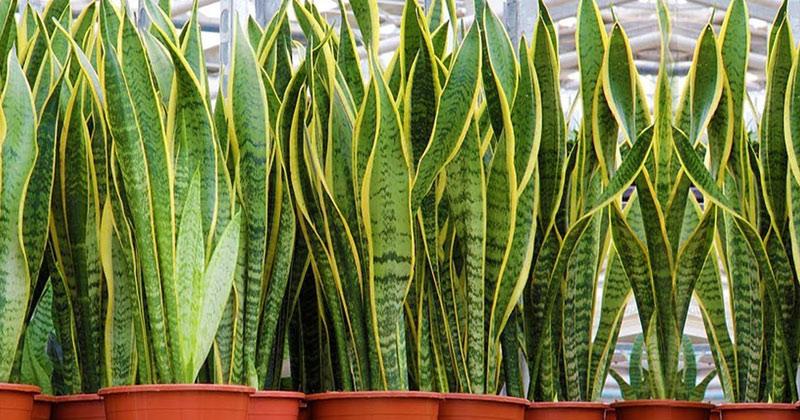 snake plant benefits in hindi