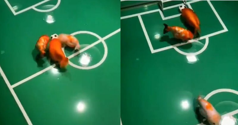 Fishes Playing Football In New Viral Video