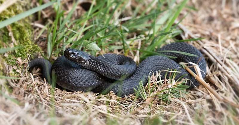 man bites snake to death