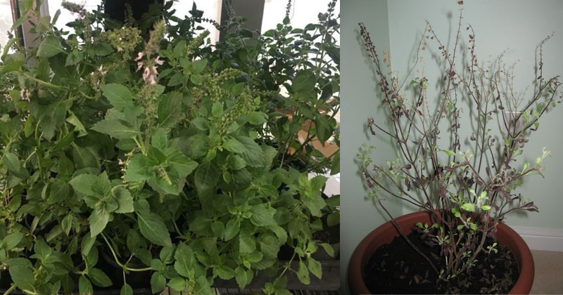 Revive Dying Tulsi Plant Tips In Hindi